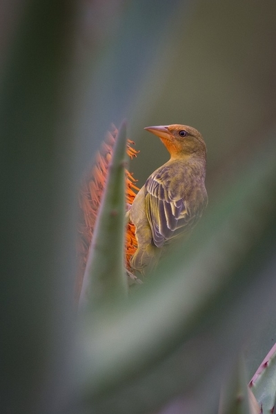 Weaver bird in the aloes