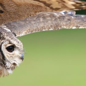 Eagle owl gets (very) close and personal!