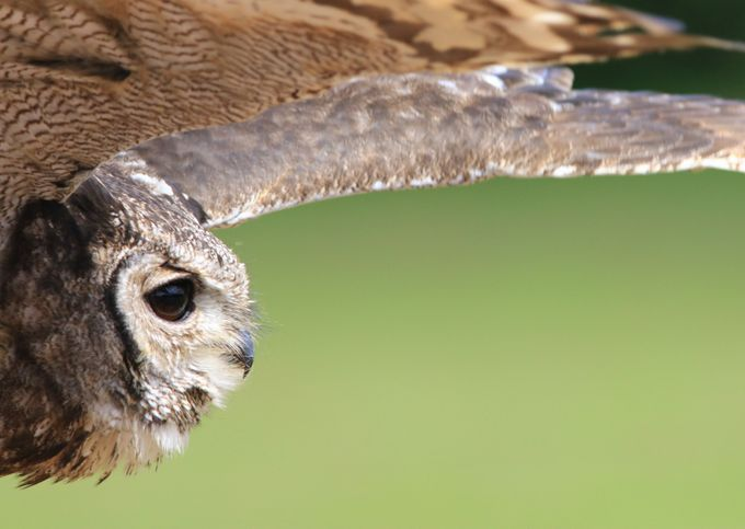 Fly by by Gilbert - Beautiful Owls Photo Contest