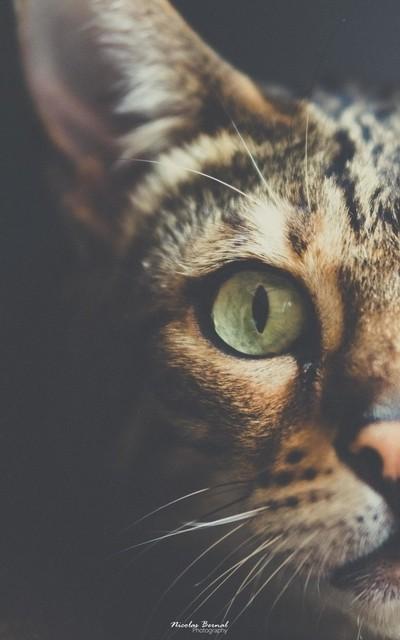 Half bengal cat
