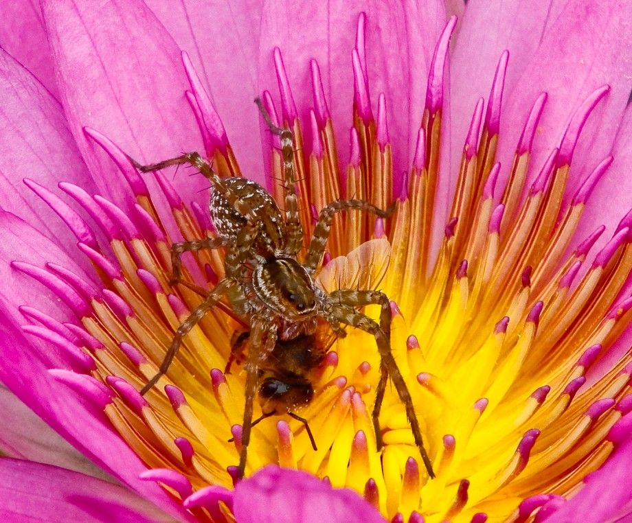 Spider Suffocating Bee Inside Lotus Flower By Gigichung Viewbugcom
