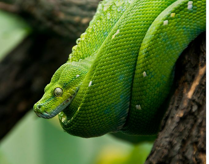 Emerald Tree Boa (Corallus caninus) by paulthomas1966 - Snakes Photo Contest