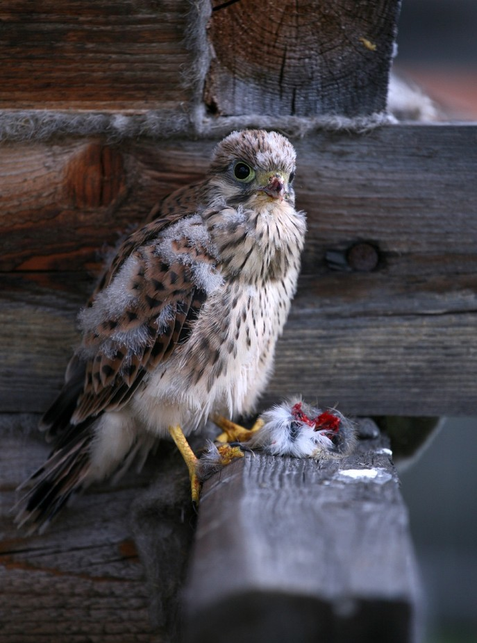 Young Falcon by lifearound - Food Chain Struggles Photo Contest