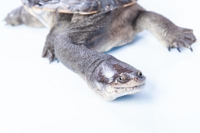 Longneck Turtle EyeBalling