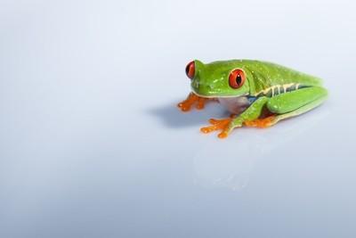 Tree Frog Stare