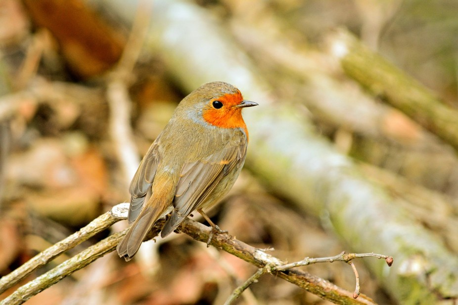 Robin's in the forest