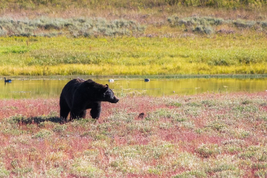 Grizzly Bear at Yellowstone Park
