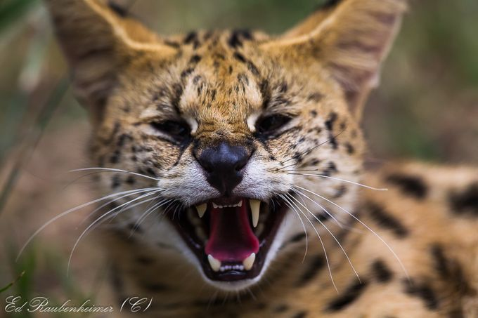 Very angry cat 276 by edraubenheimer - Shallow Depth Of Field Photo Contest
