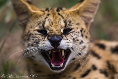 Very angry cat 276