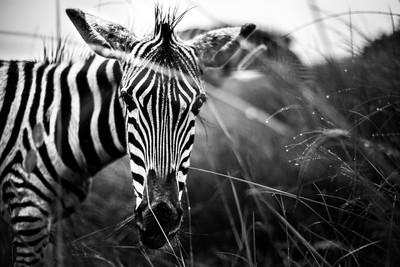 Zebra Close-Up