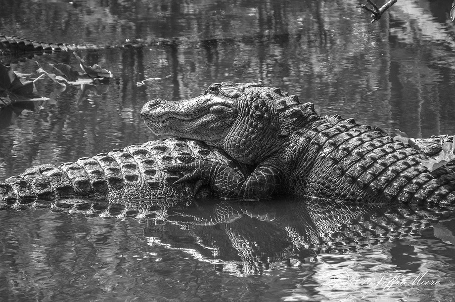 One alligator resting on another at the swamp at Gatorland.