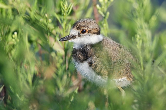 Killdeer Chick by daleigh - Can You See Me Photo Contest