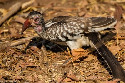Red Billed Hornbill Eating Insects