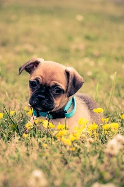 Pug puppy 2