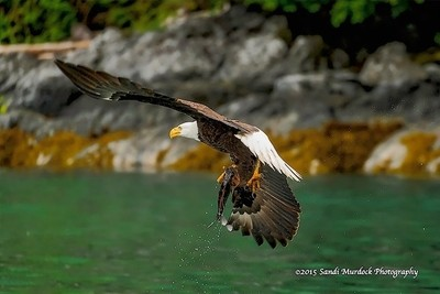 Fish On - Bald Eagle Fishing
