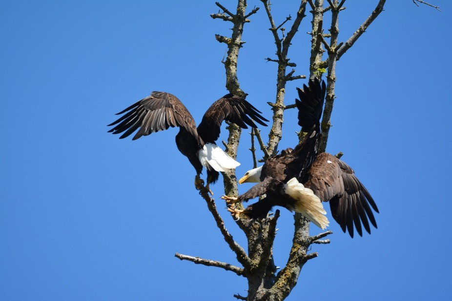 A mating pair of eagle sharing a branch
