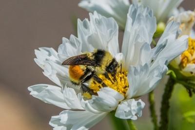 Colorful Bumblebee