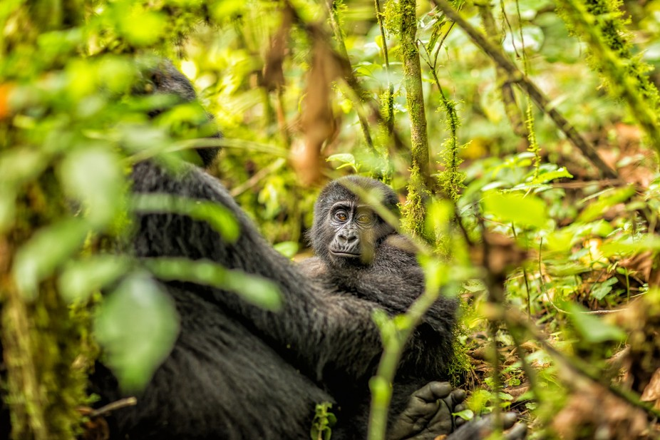 Kamara is the name given to the baby gorilla by the rangers.  She was born on Christmas day.  Her...