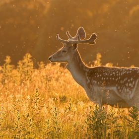 Fallow deer shot at golden hour