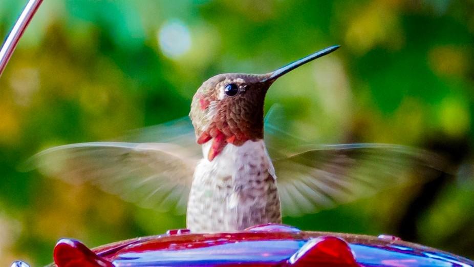 Anna's Hummingbird, Milwaukie, Oregon