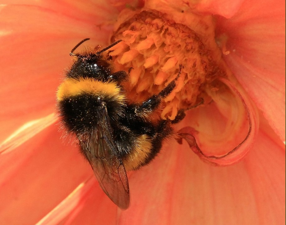 Spent hours trying to catch a photo showing the wooliness of the Bumble bee