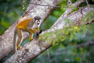 Monkey looking for food.