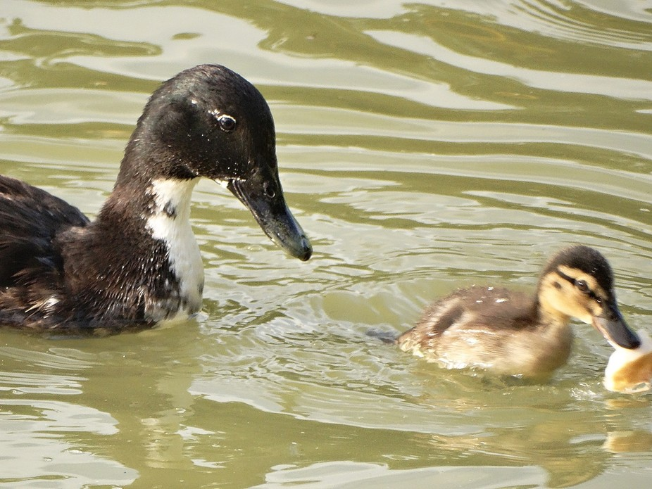 Ducks-mom with child