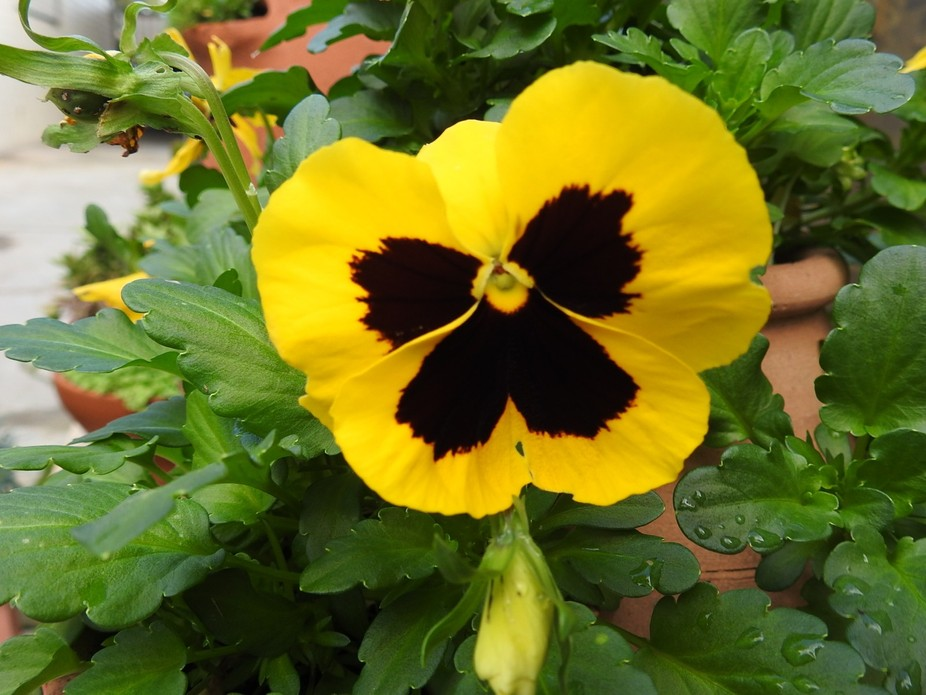 This pansy is growing in my garden.  Yellow flowers are my favorite.