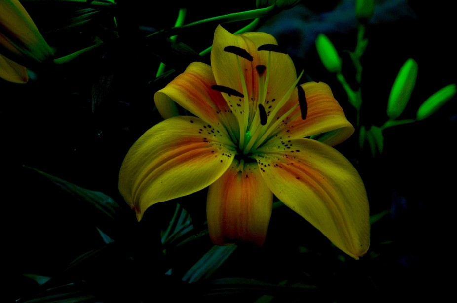 Glowing lilies
