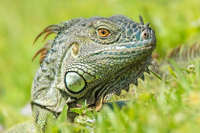 Iguana by heathermcfw - Reptiles And Amphibians Photo Contest
