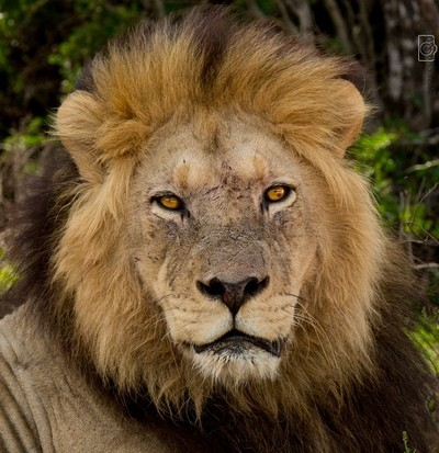 Lion Eyes © Brian Basson Photography