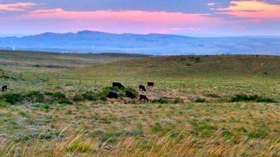 Moo cows