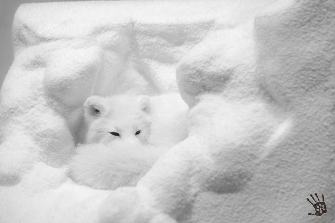 The Arctic Fox on display by 1WolfPhotography - Can You See Me Photo Contest