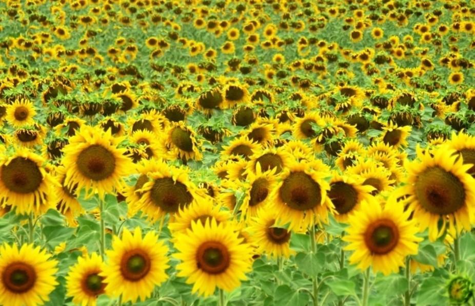 A field of sunflowers in Alentejo region - Portugal.