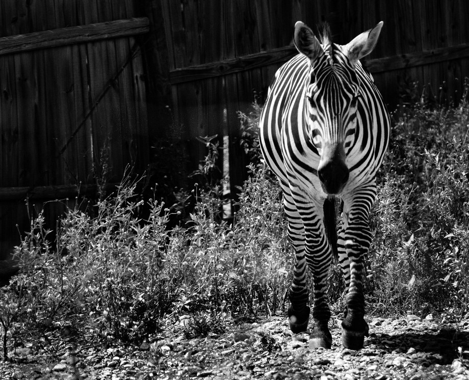 What's black and white and handsome all over?   This zebra, at the Capital of Texas Zoo ...