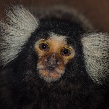 A marmoset monkey at the Wildlife World Zoo.