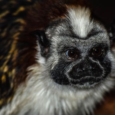 A Geoffroy's Tamarin at the Wildlife World Zoo.