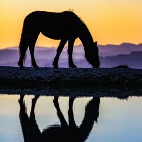 One of the wild horse roaming the Nevada desert highlands ...
