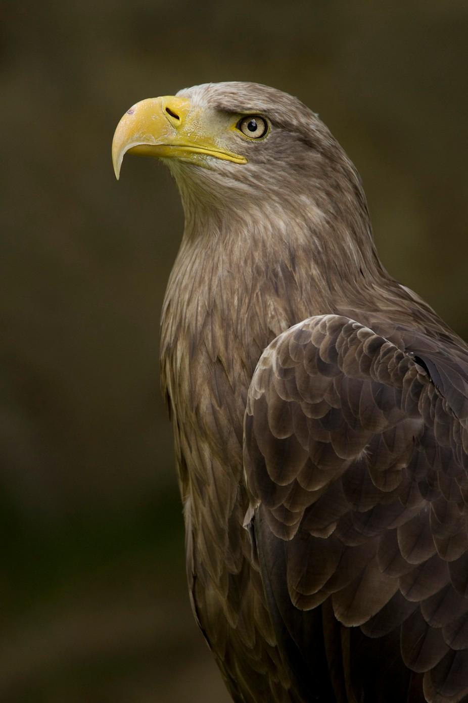 Eagle by aleoko - Just Eagles Photo Contest