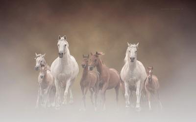 Petronius Arabians