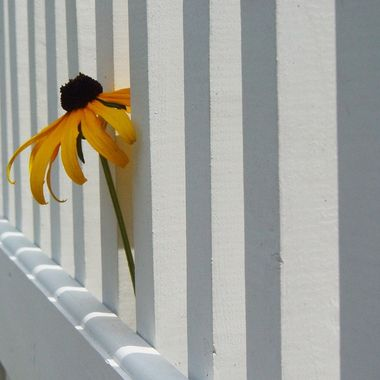 Flower in the Fence