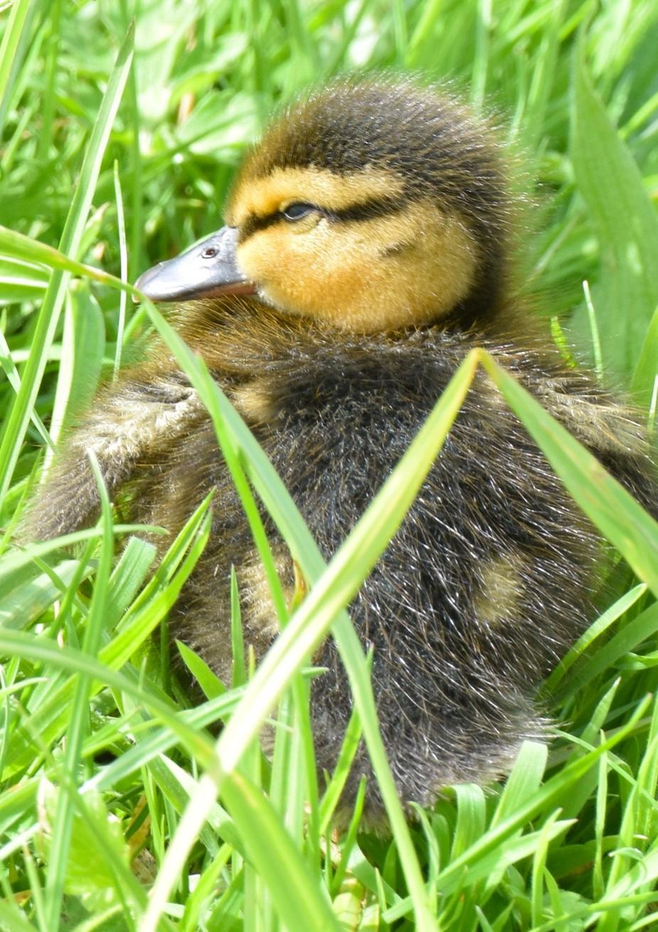 Duckling 2 DSC_0066
