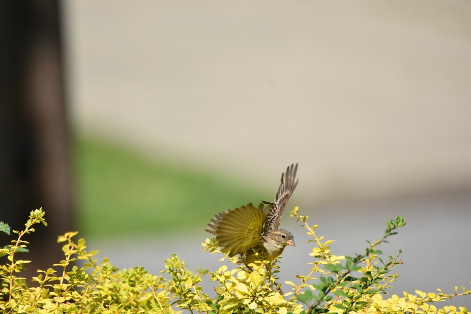 Watching this bird in the yard, saw it and caught it as it was just preparing to leave the area.