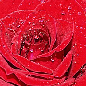 A  Red Red Rose