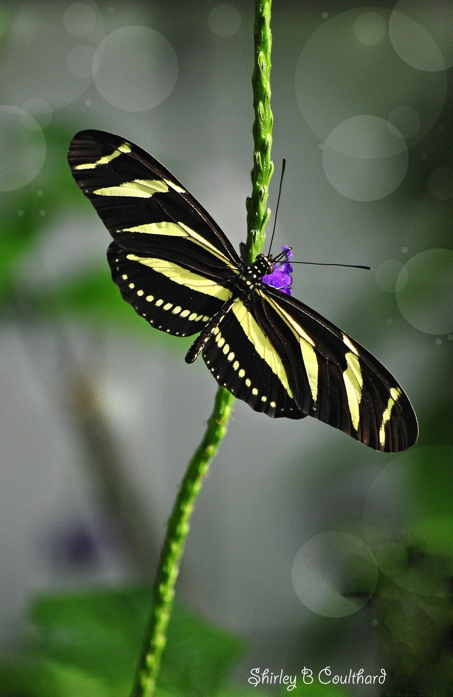 Zebra Longwing butterfly by shirleybcoulthard - Freshmen 2016 Photo Contest Vol 2