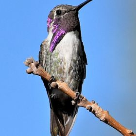 Portrait of a Male Costas Hummingbird with Purple Eye Feathers