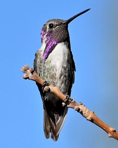 Hummingbird Purple Eye Feathers