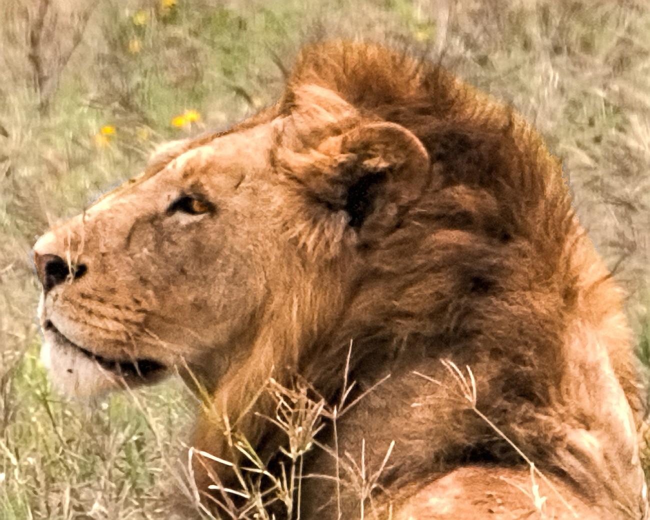 lion3088a