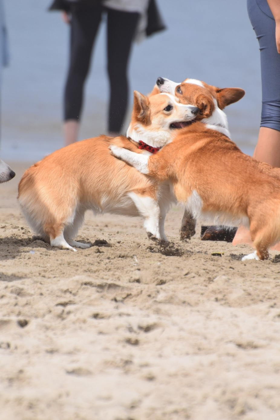 Photo taken at the CorgI Bash in Canon Beach, Oregon, with my Nikon D3300.