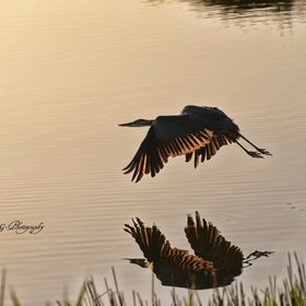 Tricolor Heron at Sunrise in Boca